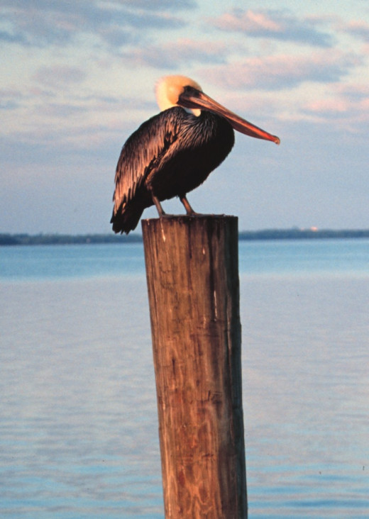I Heart Brown Pelican