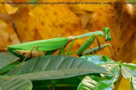 Giant Malaysian Shield Mantis, Rhombodera Basalis