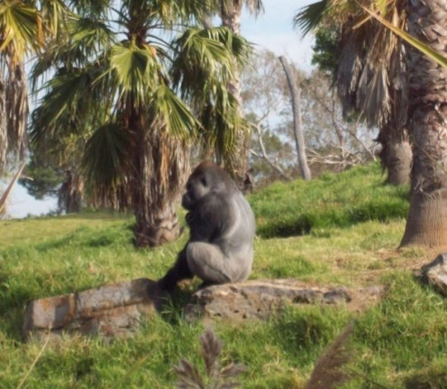 A Gorilla at Werribee.