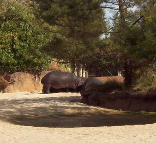 More hippos, this time standing up.