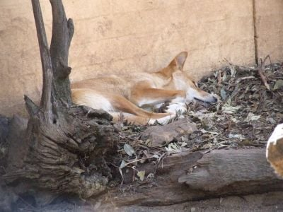 A dingo having a nap at Featherdale Wildlife Park