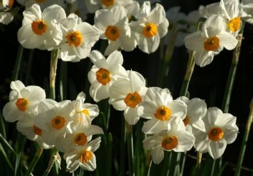 Narcissus plants