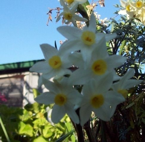 Close up of a narcissus in the shade