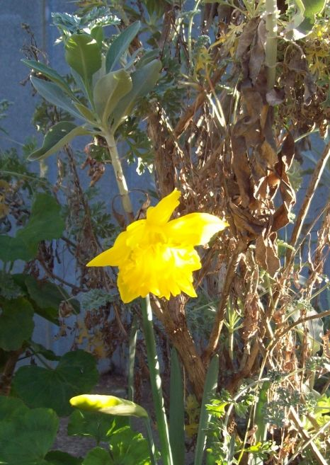 My first daffodil of the season! The golden flowers are so cheerful!