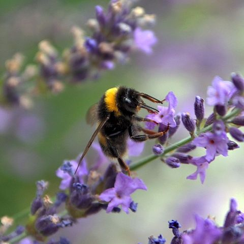 Lavendar with bumble bee.