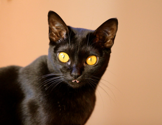 The Bombay is the most commonly depicted breed of black cat.