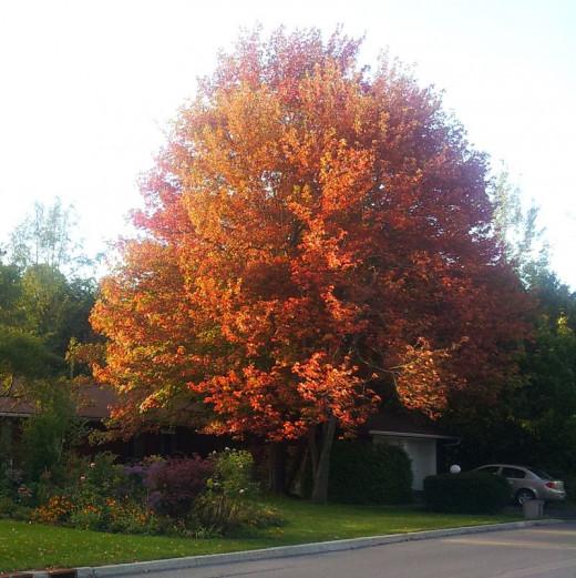 Fall maple tree (Credit Dorian)