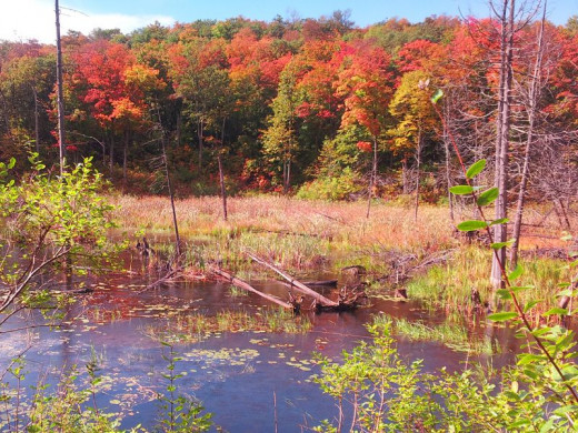 Swamp and Trees in Fall (Photo Credit Dorian)