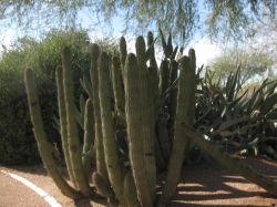 Organ pipe cactus, Mesa, Arizona.