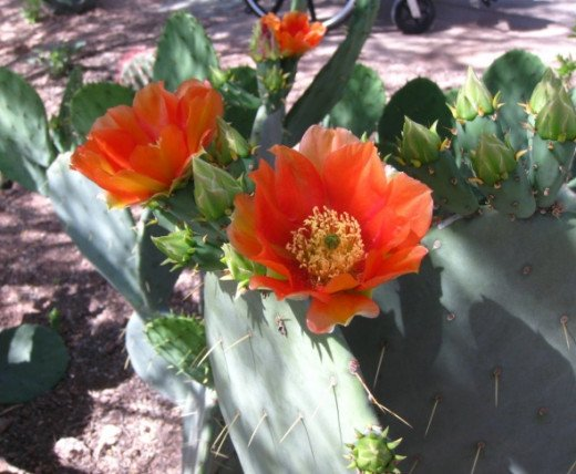 Orange blossom on a prickly pear cactus.