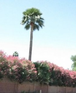 Pink Oleander with a lone palm tree.