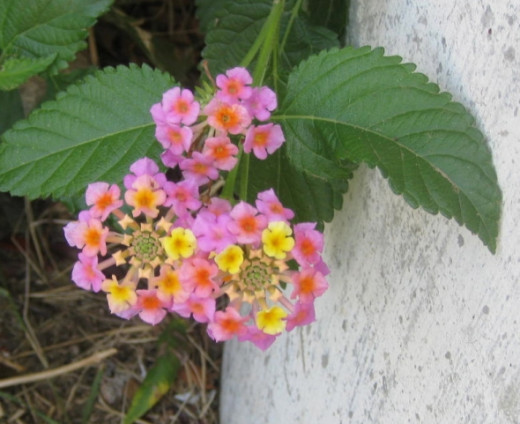 Lantana -- Lovely delicate little flowers. These also come in orange and yellow, which is one of my favorite color combinations, and which can be seen in the last photo of this group of photos!
