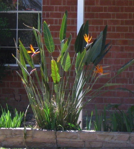 Bird of paradise. These are so pretty!