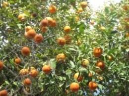 Orange tree full of fruit.