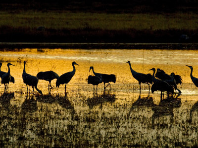 Sandhill Cranes, Rio Grande South of Socorro, New Mexico, USA