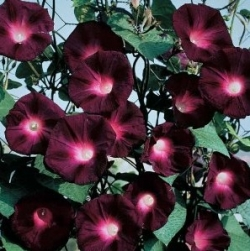 Black Knight Kniolas Morning Glory