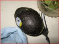 Minnesota Horticulture: Avocado - Eating and Growing a Tree from the Pit