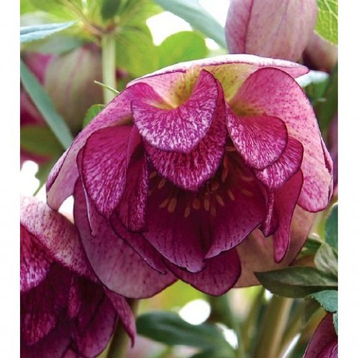 Hellebores (Lenten Rose) are beauties that are gaining popularity. They extend the flowering season.