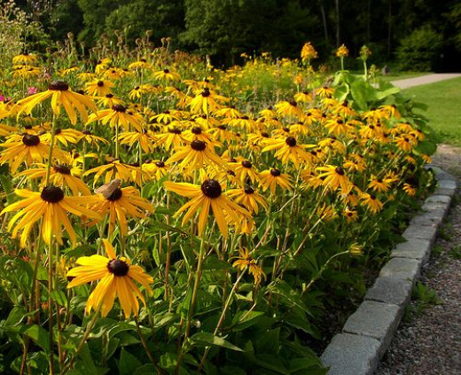 Rudbeckia, now one of the most widely used perennials, it is very versatile and an American native