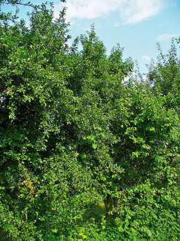 After the flowers have gone and before the fruits develop the tree is fairly nondescript.