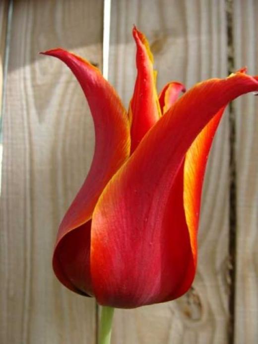 A Closeup of a Tulip