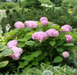 Hydrangea shrubs are easy to divide.