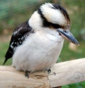 Kookaburra - Wildlife Australia