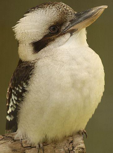 Googoorgaga, the Kookaburra