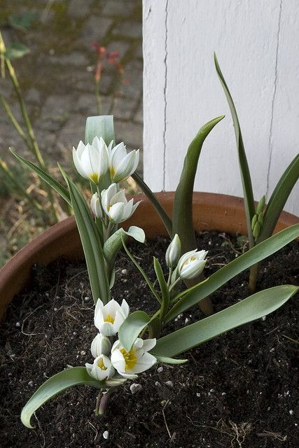 Tulipa polychroma is an example of the delicacy of the flower and form of the species class. Grown in pots makes them easy to view and enjoy.