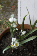 Specie Tulips Are Picture-Perfect in Miniature Gardens