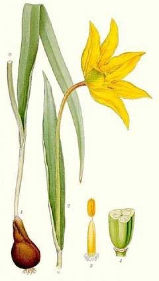 Botanical Illustration of T. tarda