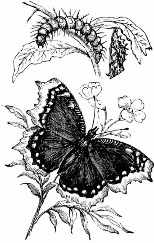 Stages of Butterfly Illustration