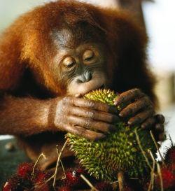 Orang Utan and a Durian Dinner