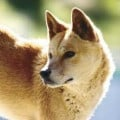 Dingo, ancestor of all dog breeds - Wildlife Australia