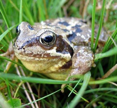 Wangura the Frog