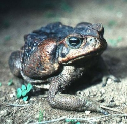 The invasive Cane Toad