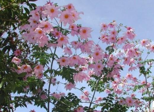Tree Dahlias June 2013