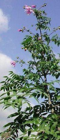 Tree Dahlias over 5 metres tall