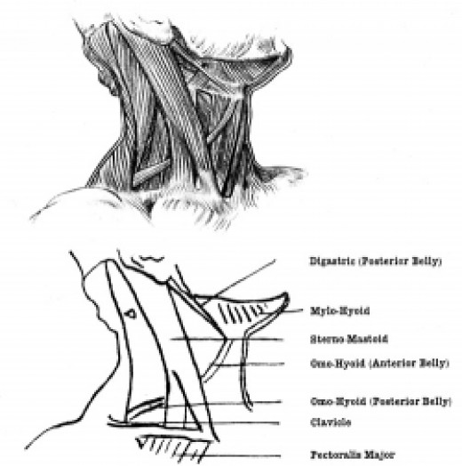 Illustration of the throat muscles.