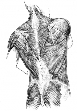 Muscles of the human back.