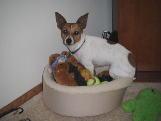 Best Small Dog Toys : Ten best dog toys for small dogs
