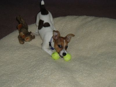 My dog with miniature tennis balls