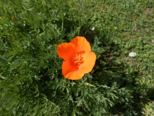 Brilliant orange California Poppy