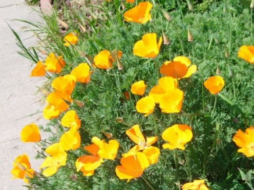 California Poppies are one of my favorites