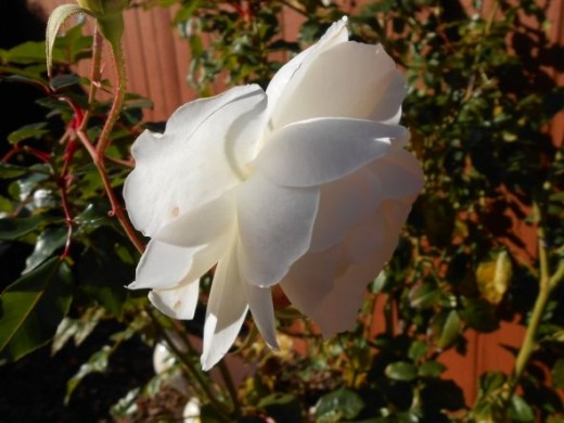 White rose with light shining through the petals