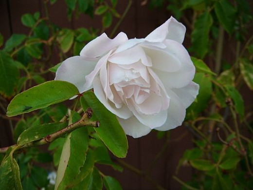The blossom of a white rose