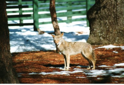 Our coyote friend seems to agree that a warm spring day would be nice!