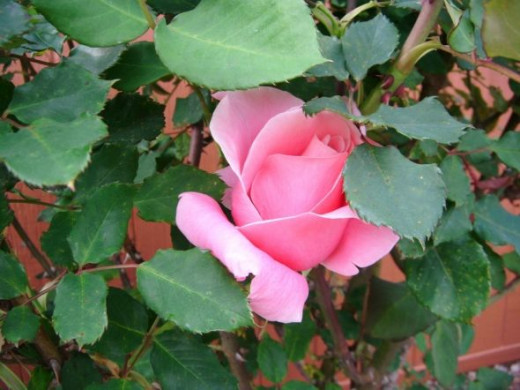 A pink rose hiding in the bush