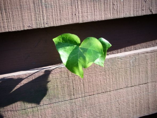 Ivy leaf slips through our fence