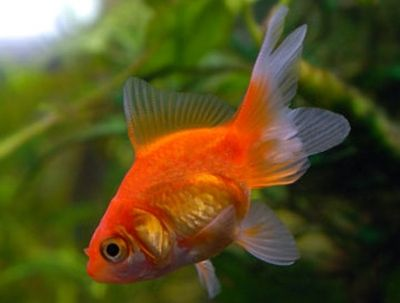 The Fantail Goldfish